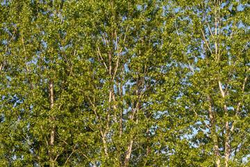 Chopos canadienses con hojas y racimos de frutos colgantes. Populus canadensis.