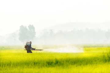 Farmer spraying insecticide in paddy field.