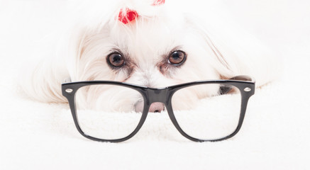 Close up of bichon frise wearing reading glasses