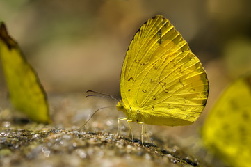 Yellow butterfly feeding food on the ground in nature,Thailand