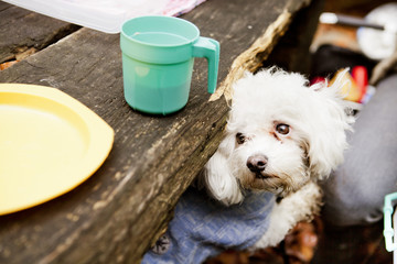 Bichon Frise sitting on picnic table in forest