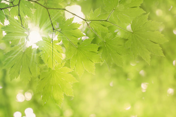 Fresh green leaves of maple tree