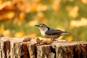 A Nuthatch pauses on a stump before grabbing a peanut. The background is a green lawn covered in fall leaves.