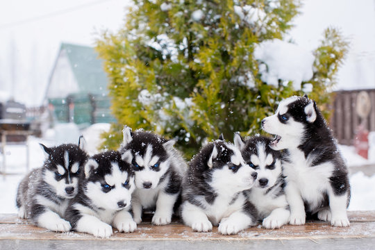Group of small Husky puppies. blue eyes.