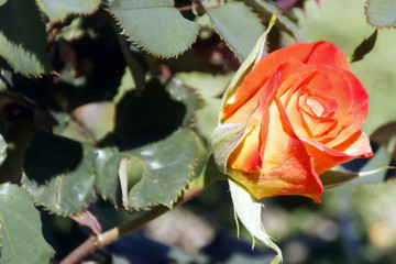orange rose bud mother day