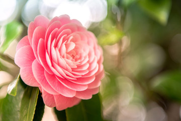 camellia blooming in the spring.