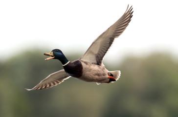 Male Mallard Duck (Anas platyrhynchos) flying above river Danube,in Belgrade,Zemun,Serbia.