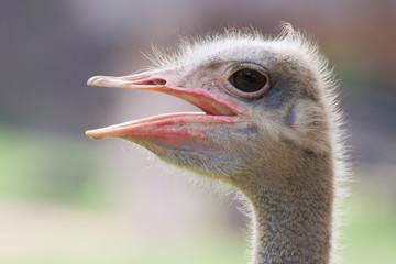 Ostrich head with big beak