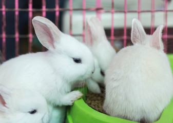 Close up white baby rabbit eating food in cage