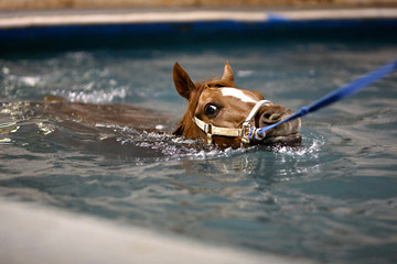 Horse swimming on leash