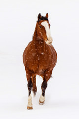 Horse running in snowy landscape