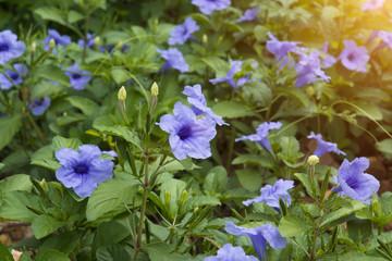 Purple flowers bloom in the morning.