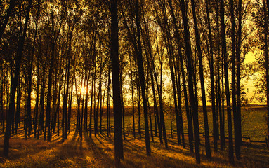 Wooded forest trees backlit with golden sunlight