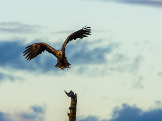 White Tailed Eagle landing in tree, vertical copy space