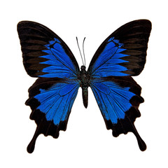Butterfly : Papilio Ulysses