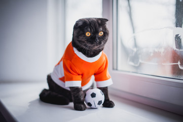 British short-haired cat in clothes. Cat soccer player. A beautiful home cat sits on a windowsill