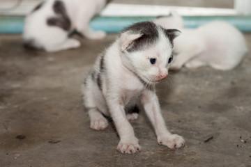 Thai baby cat.