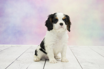 Cavalier King Charles Spaniel with colorful springtime background