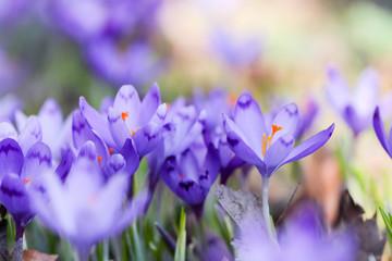 Saffron, crocus