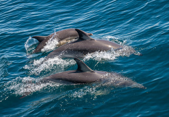 Family of three dolphins swimming together