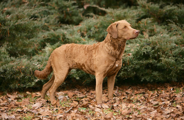 Chesapeake Bay Retriever dog in the forest.