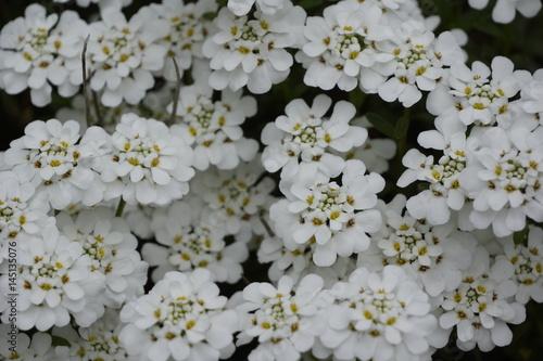 Blühende weisse Polsterblumen auf Gartenmauer im Frühling ...