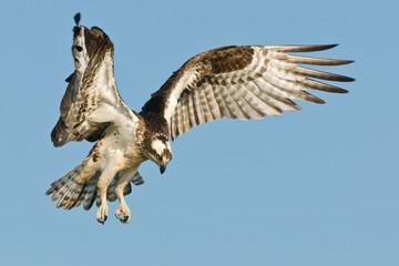 Osprey landing against a blue sky