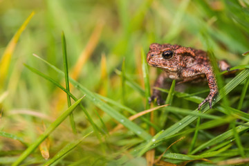 Small but angry frog in meadow