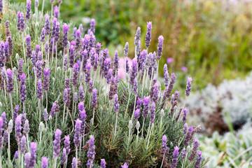 Close up of a Lavender Bush