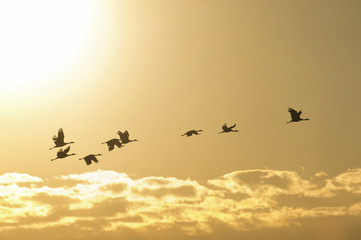 Sandhill cranes at sunset in Nebraska