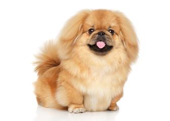 Wall Mural - Pekingese happy dog