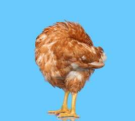 Chicken on blue background isolated, hiding the head under the wing, one closeup animal