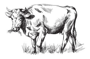 Wall Murals Botanical sketches of cows drawn by hand. livestock. cattle. animal grazing