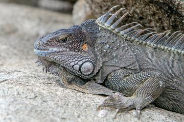 Iguana on the rocks.
