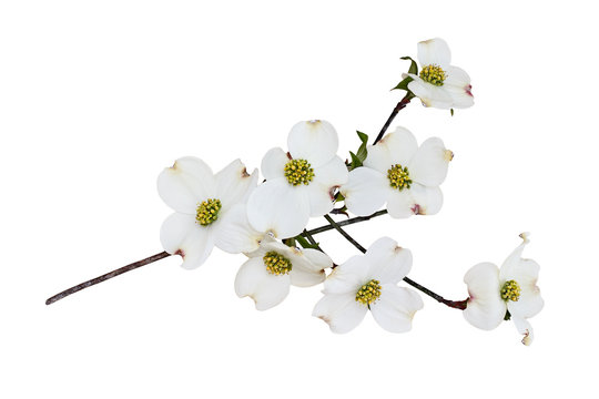 Isolated White flowering dogwood tree blossoms