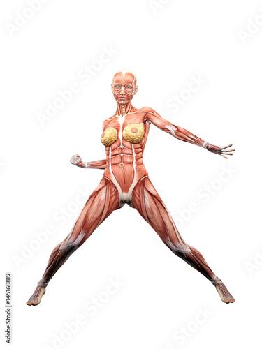 Female muscle anatomy posing 3D Illustration\