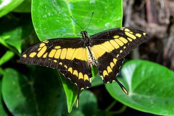 Farfalla close up nera e gialla