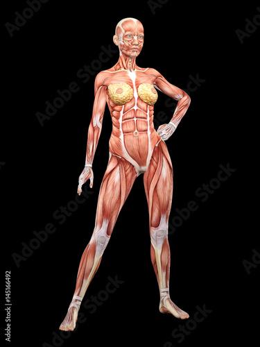 Female muscle anatomy posing 3D Illustration