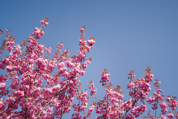 japanese cherry blossoms against blue sky