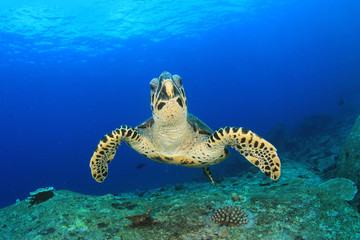 Hawksbill Sea Turtle feeds on coral