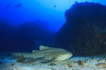 Zebra Shark (Leopard Shark) and scuba diver