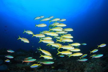 Fish school on coral reef. Yellowfin Goatfish