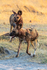Wild dogs playing after hunting in the morning sun