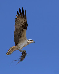 An Osprey ( Pandion haliaetus) bringing nesting material to a platform nest at Ft. Desoto Park near St. Pete Beach, Florida.