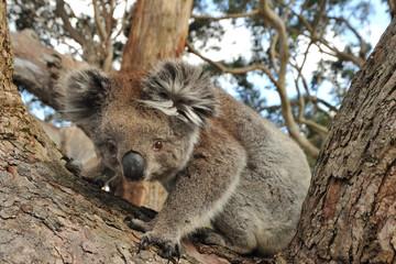 Koala looking into the camera