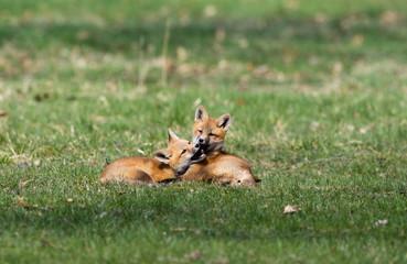 Fox Babies Playing