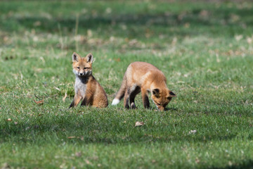Fox Babies Playing in the Grass