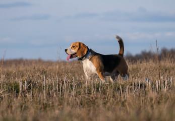 The Beagle runs and frolics at the spring walk