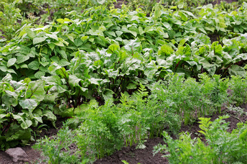 The beds with vegetable crops.