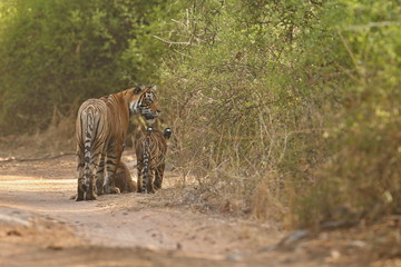Tiger family got back together in india/wild animals after hunt in the nature habitat/Indian wildlife/tigers on the road